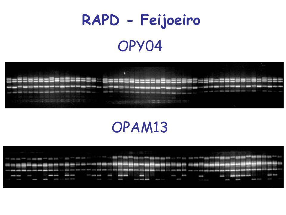 RAPD - Feijoeiro OPAM13 OPY04