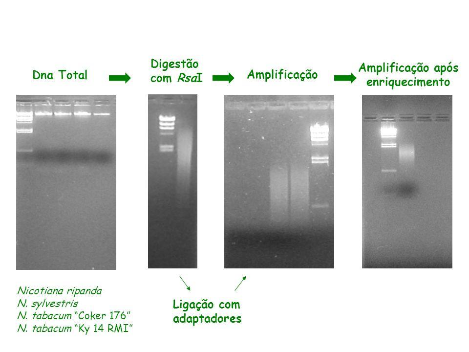 Dna Total Digestão com RsaI Amplificação Amplificação após enriquecimento Ligação com adaptadores Nicotiana ripanda N. sylvestris N. tabacum Coker 176