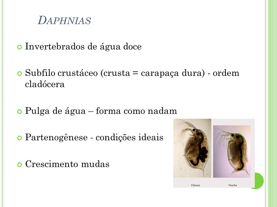 D APHNIAS Invertebrados de água doce Subfilo crustáceo (crusta = carapaça dura) - ordem cladócera Pulga de água – forma como nadam Partenogênese - con