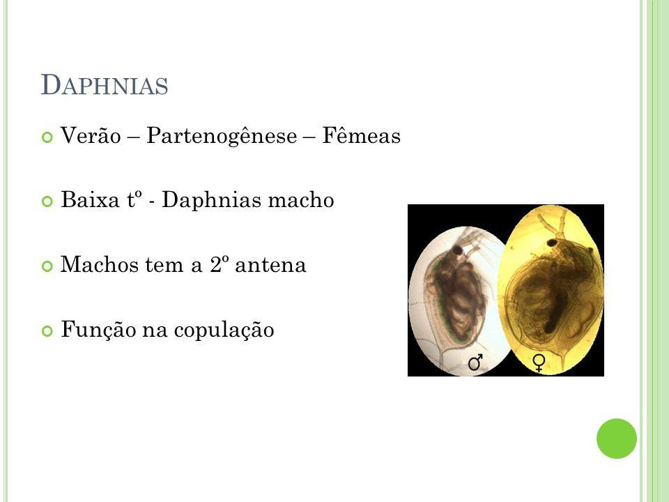 D APHNIAS Ovos de inverno – condições desfavoráveis Ephippium – flutuar, congelar e ser ingeridos pelos animais; Resistente as enzimas digestoras Possuem camada protetora – restos da cavidade incubadora Resistem até 20 anos