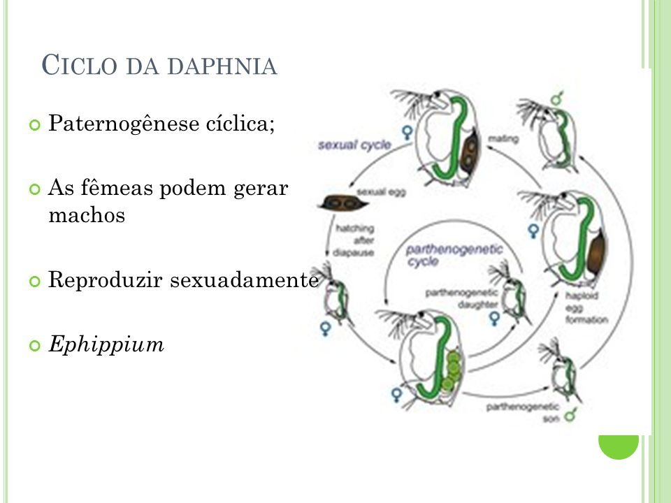 C ICLO DA DAPHNIA Paternogênese cíclica; As fêmeas podem gerar machos Reproduzir sexuadamente Ephippium