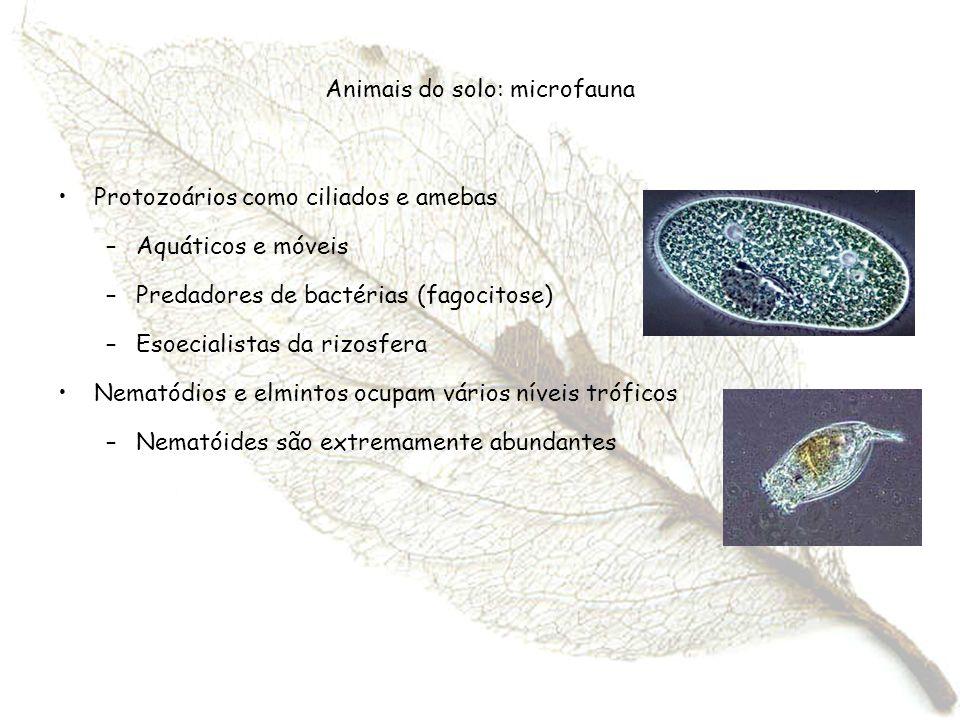 Animais do solo: microfauna Protozoários como ciliados e amebas –Aquáticos e móveis –Predadores de bactérias (fagocitose) –Esoecialistas da rizosfera