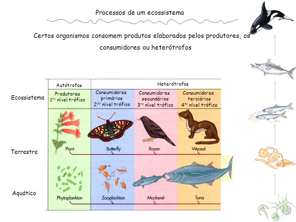 Processos de um ecossistema Os consumidores podem ser herbívoros, carnívoros ou decompositores Heterótrofos Autótrofos Produtores 1 ro nível trófico Consumidores primários 2 do nível trófico Consumidores secundários 3 ro nível trófico Consumidores terciários 4 to nível trófico Decompositores ou detritívoros Ecossistema Terrestre Aquático