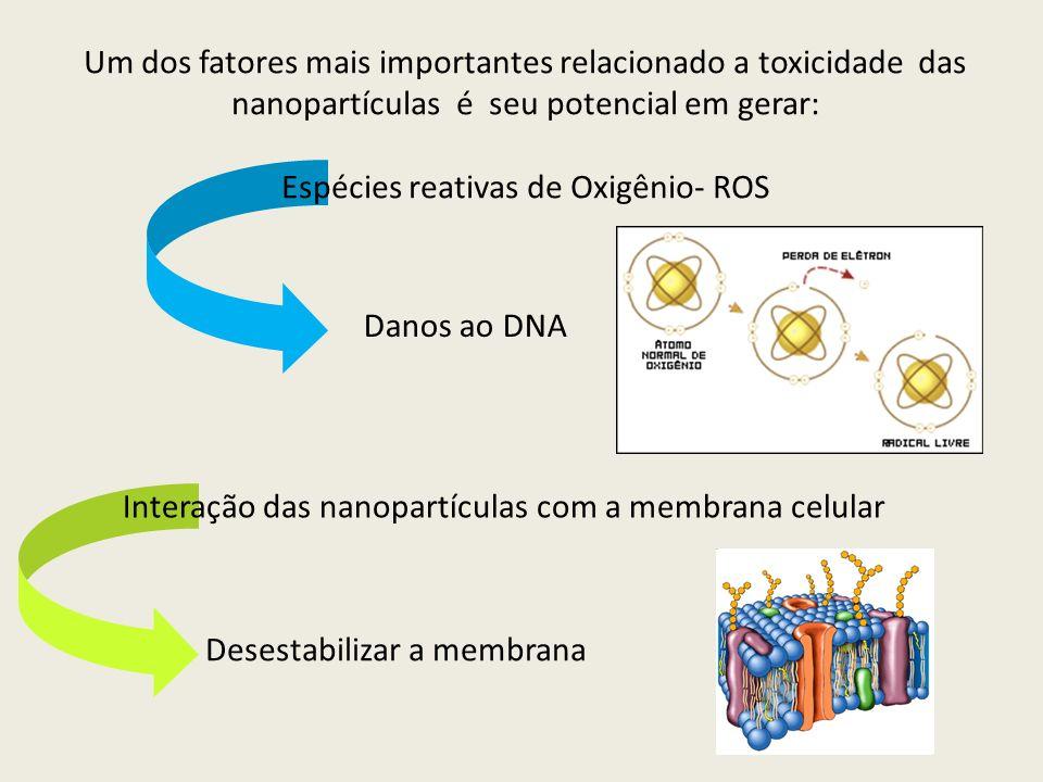 Um dos fatores mais importantes relacionado a toxicidade das nanopartículas é seu potencial em gerar: Espécies reativas de Oxigênio- ROS Danos ao DNA