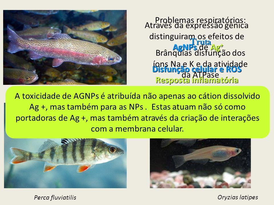 Através da expressão gênica distinguiram os efeitos de AgNPsAg + AgNPs de Ag + Disfunção celular e ROS Resposta inflamatória Intoxicação por metais Or