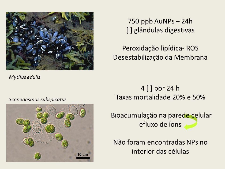 4 [ ] por 24 h Taxas mortalidade 20% e 50% Bioacumulação na parede celular efluxo de íons Não foram encontradas NPs no interior das células 750 ppb Au