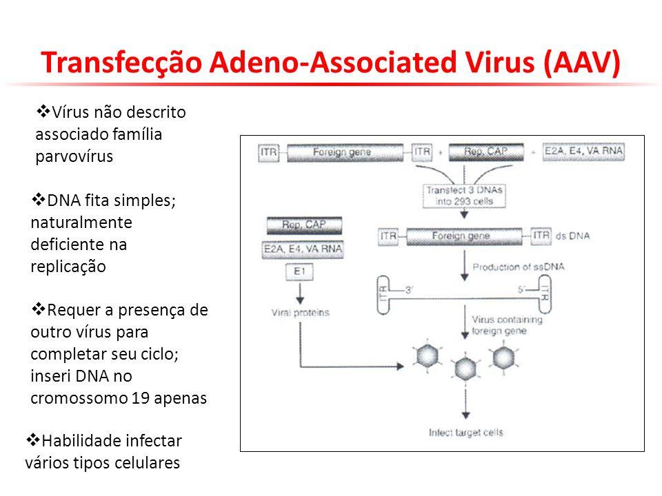 Transfecção Adeno-Associated Virus (AAV) Vírus não descrito associado família parvovírus DNA fita simples; naturalmente deficiente na replicação Reque