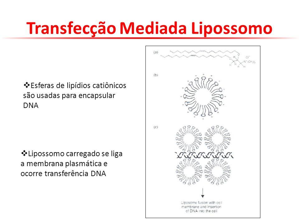 Transfecção Mediada Lipossomo Esferas de lipídios catiônicos são usadas para encapsular DNA Lipossomo carregado se liga a membrana plasmática e ocorre