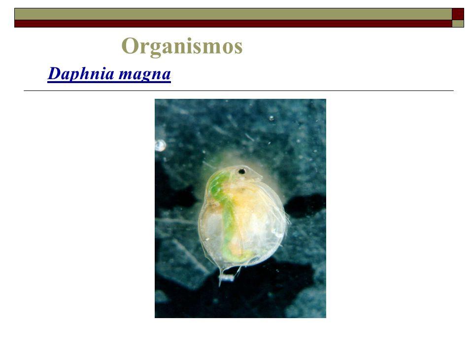 Organismos Daphnia magna