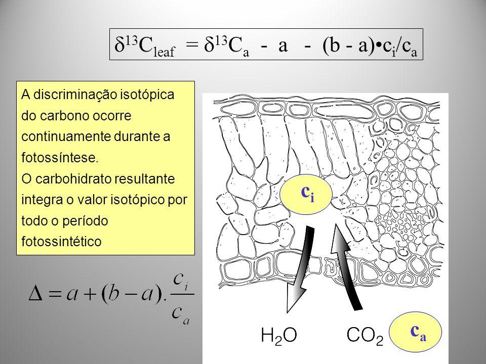 13 C leaf = 13 C a - a - (b - a)c i /c a cici caca A discriminação isotópica do carbono ocorre continuamente durante a fotossíntese. O carbohidrato re