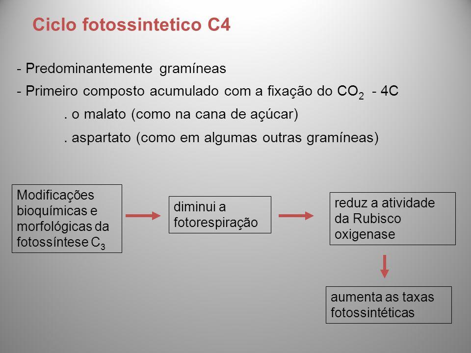 - Predominantemente gramíneas - Primeiro composto acumulado com a fixação do CO 2 - 4C. o malato (como na cana de açúcar). aspartato (como em algumas