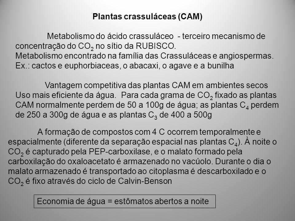 Plantas crassuláceas (CAM) Metabolismo do ácido crassuláceo - terceiro mecanismo de concentração do CO 2 no sítio da RUBISCO. Metabolismo encontrado n