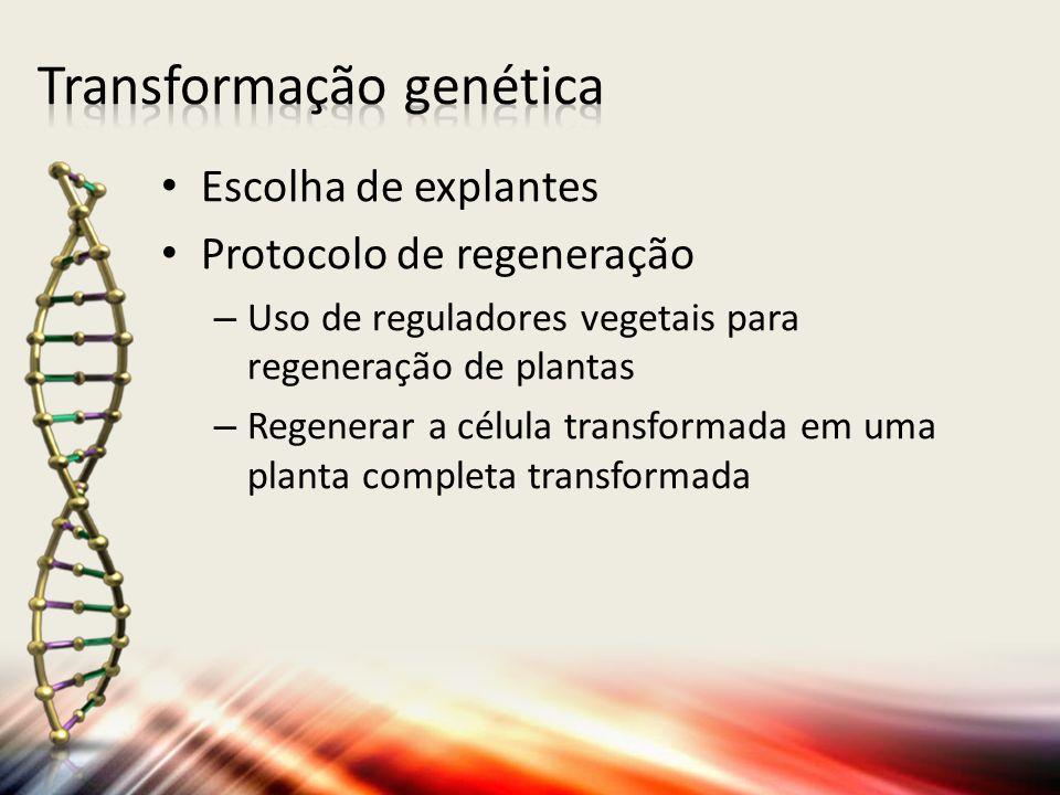 Escolha de explantes Protocolo de regeneração – Uso de reguladores vegetais para regeneração de plantas – Regenerar a célula transformada em uma plant