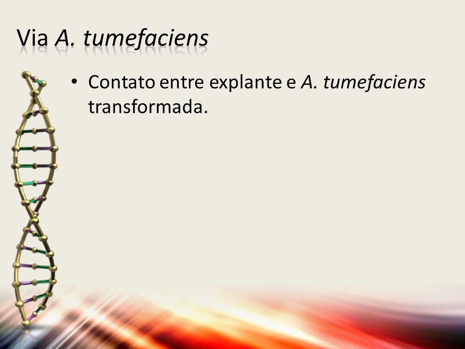 Contato entre explante e A. tumefaciens transformada.