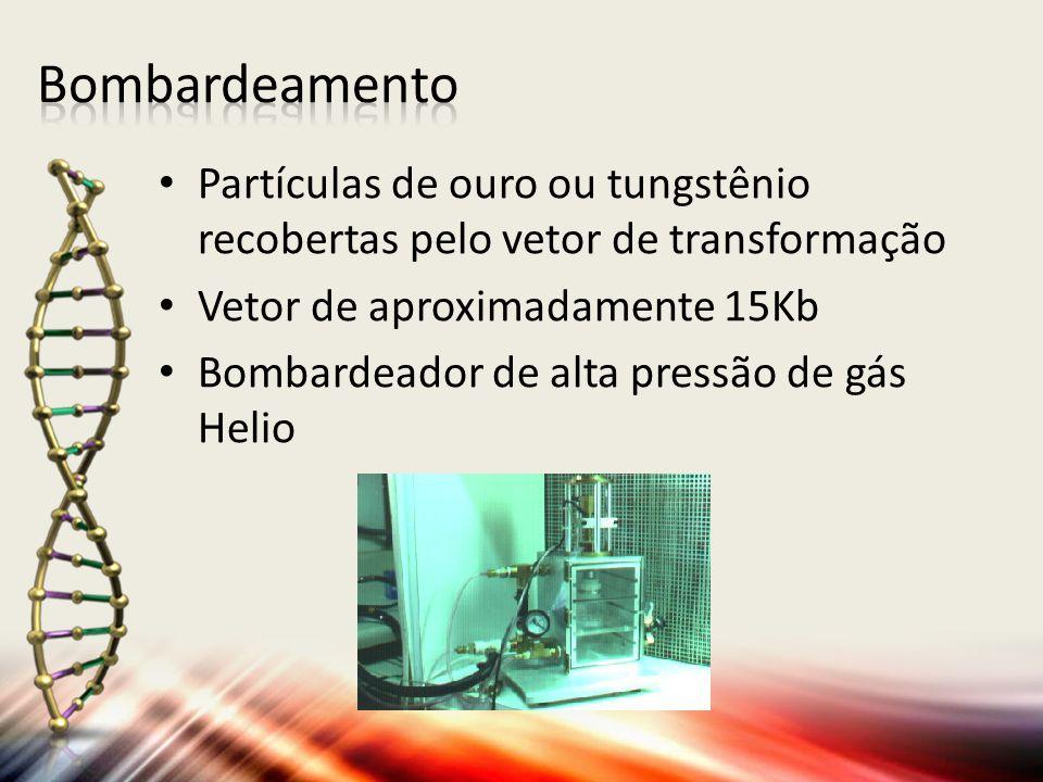 Partículas de ouro ou tungstênio recobertas pelo vetor de transformação Vetor de aproximadamente 15Kb Bombardeador de alta pressão de gás Helio