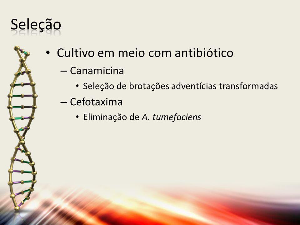 Cultivo em meio com antibiótico – Canamicina Seleção de brotações adventícias transformadas – Cefotaxima Eliminação de A. tumefaciens