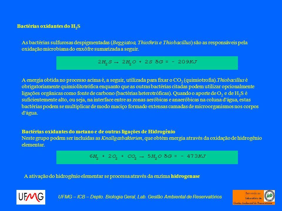Bactérias oxidantes do H 2 S As bactérias sulfurosas despigmentadas (Beggiatoa, Thiothrix e Thiobacillus) são as responsáveis pela oxidação microbiana