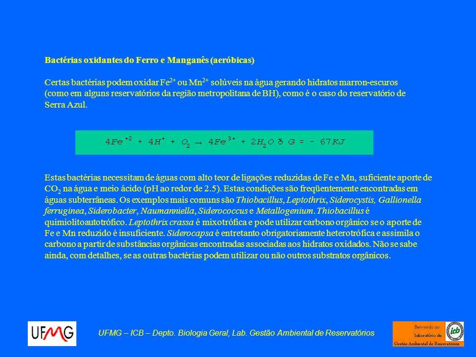 UFMG – ICB – Depto. Biologia Geral, Lab. Gestão Ambiental de Reservatórios Bactérias oxidantes do Ferro e Manganês (aeróbicas) Certas bactérias podem