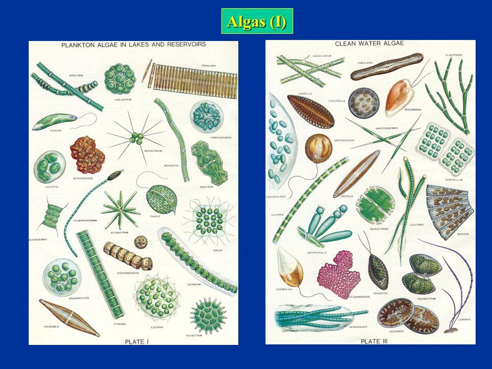 Cladóceros Os cladóceros são microcrustáceos que podem ser planctônicos ou bentônicos.