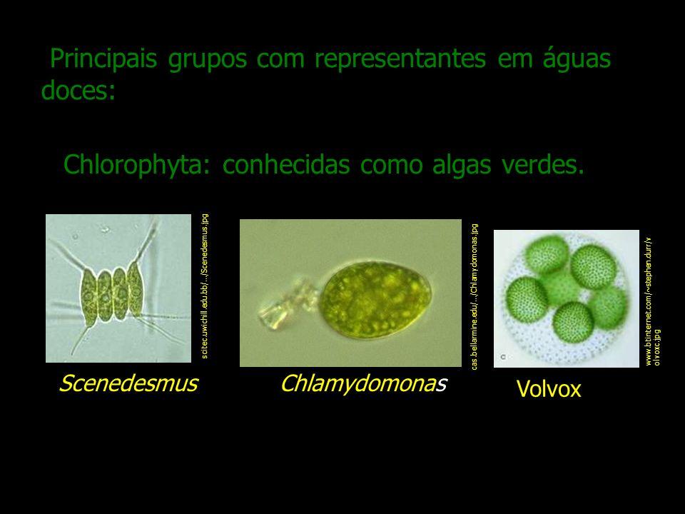 Principais grupos com representantes em águas doces: Chlorophyta: conhecidas como algas verdes. scitec.uwichill.edu.bb/.../Scenedesmus.jpg Scenedesmus