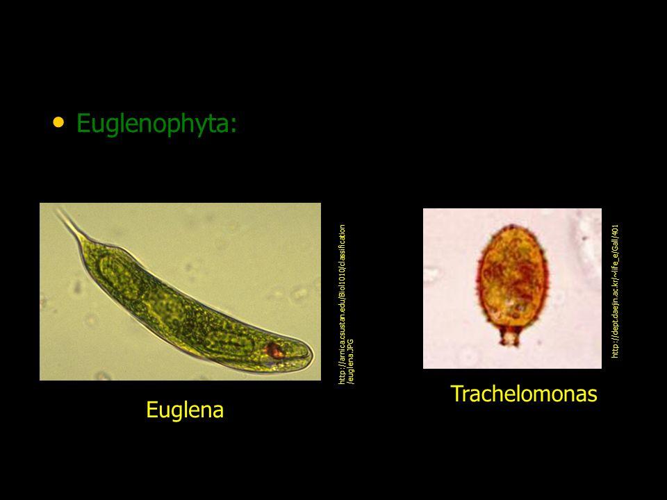 Chrysophyta: algas com plastídeos verde- amarelados.