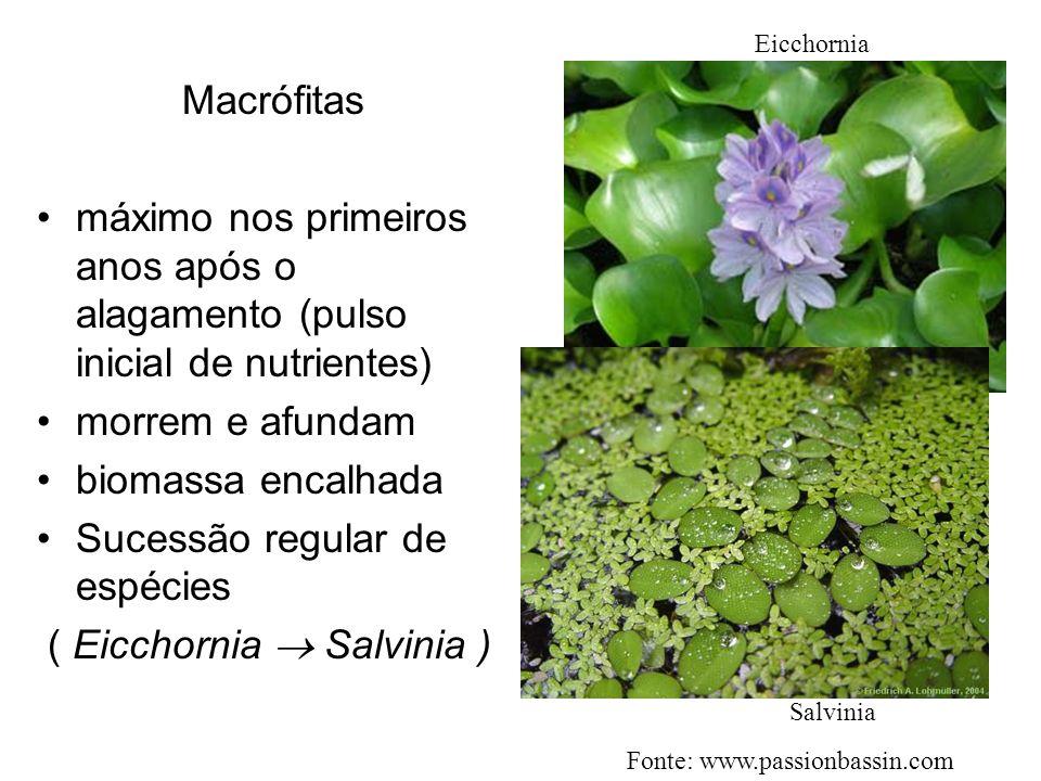 Macrófitas máximo nos primeiros anos após o alagamento (pulso inicial de nutrientes) morrem e afundam biomassa encalhada Sucessão regular de espécies