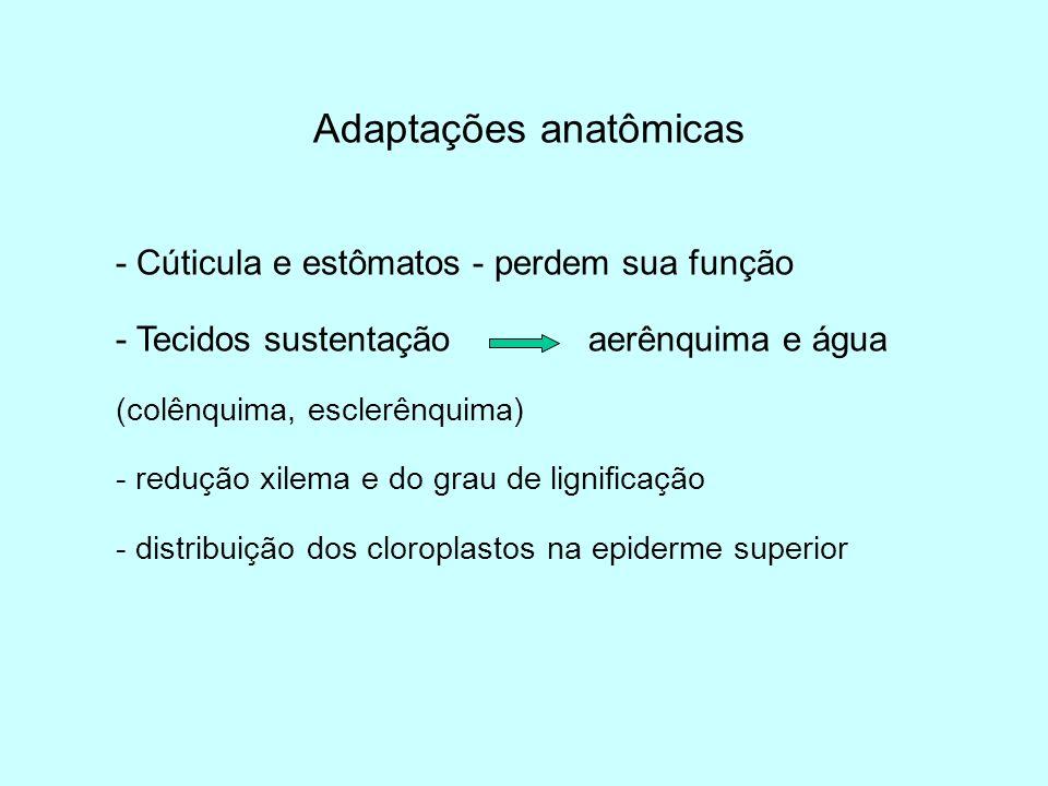 Adaptações anatômicas - Cúticula e estômatos - perdem sua função - Tecidos sustentação aerênquima e água (colênquima, esclerênquima) - redução xilema
