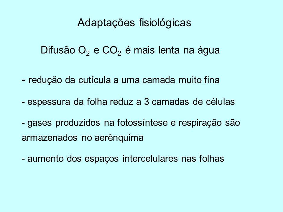 Adaptações fisiológicas Difusão O 2 e CO 2 é mais lenta na água - redução da cutícula a uma camada muito fina - espessura da folha reduz a 3 camadas d