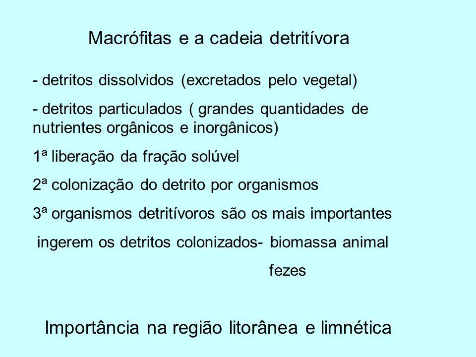 Macrófitas e a cadeia detritívora - detritos dissolvidos (excretados pelo vegetal) - detritos particulados ( grandes quantidades de nutrientes orgânic
