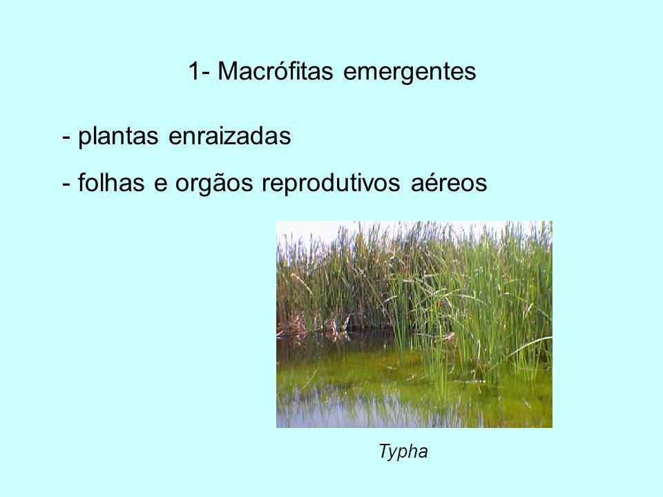 1- Macrófitas emergentes - plantas enraizadas - folhas e orgãos reprodutivos aéreos Typha