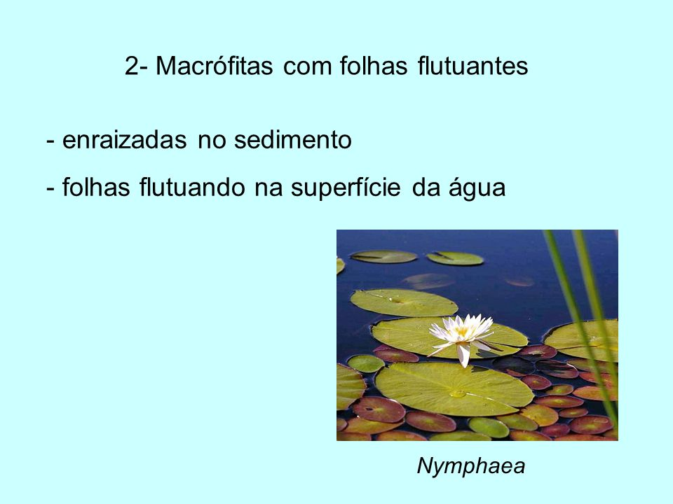 2- Macrófitas com folhas flutuantes Nymphaea - enraizadas no sedimento - folhas flutuando na superfície da água