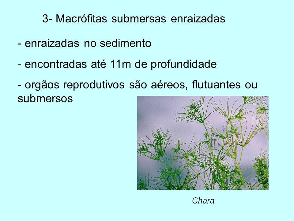 3- Macrófitas submersas enraizadas Chara - enraizadas no sedimento - encontradas até 11m de profundidade - orgãos reprodutivos são aéreos, flutuantes