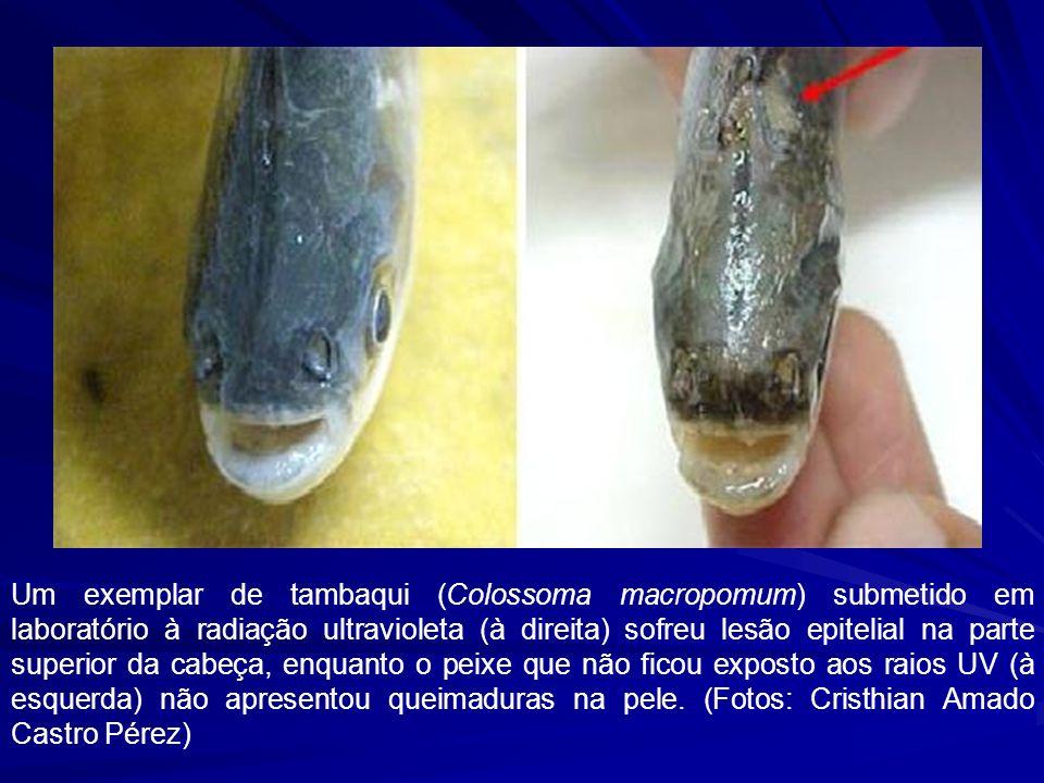 Influência sobre o zooplâncton Effects of ultraviolet radiation on diel vertical migration of crustacean zooplankton Fischer J.