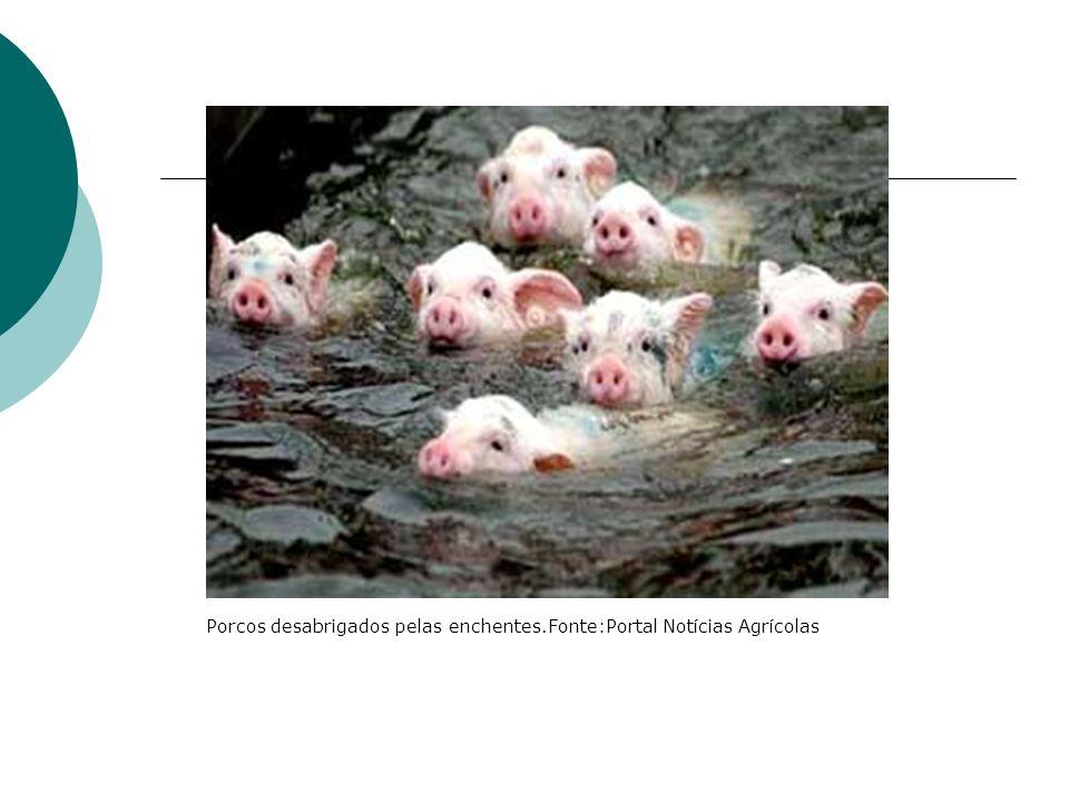 Porcos desabrigados pelas enchentes.Fonte:Portal Notícias Agrícolas