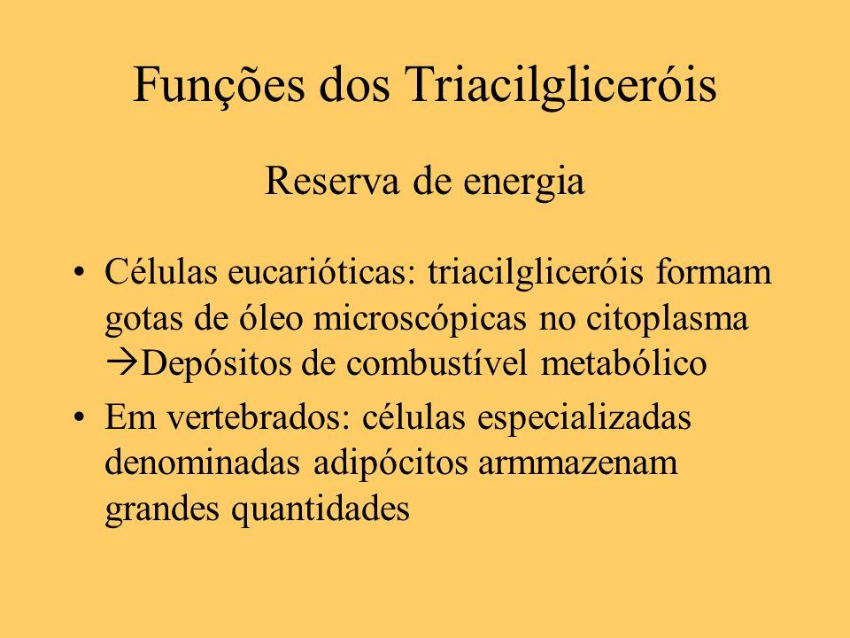 Funções dos Triacilgliceróis Reserva de energia Células eucarióticas: triacilgliceróis formam gotas de óleo microscópicas no citoplasma Depósitos de c