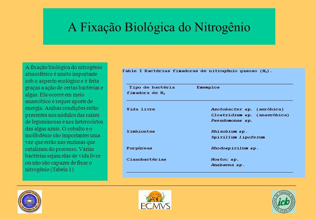 A Fixação Biológica do Nitrogênio A fixação biológica do nitrogênio atmosférico é muito importante sob o aspecto ecológico e é feita graças a ação de