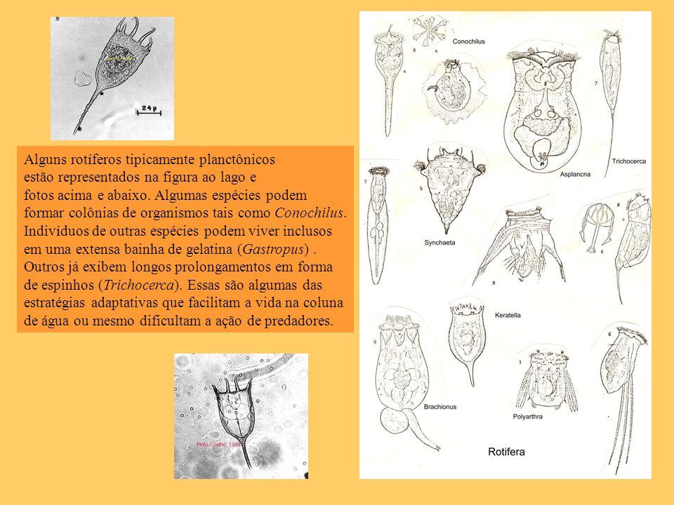 Alguns rotíferos tipicamente planctônicos estão representados na figura ao lago e fotos acima e abaixo. Algumas espécies podem formar colônias de orga