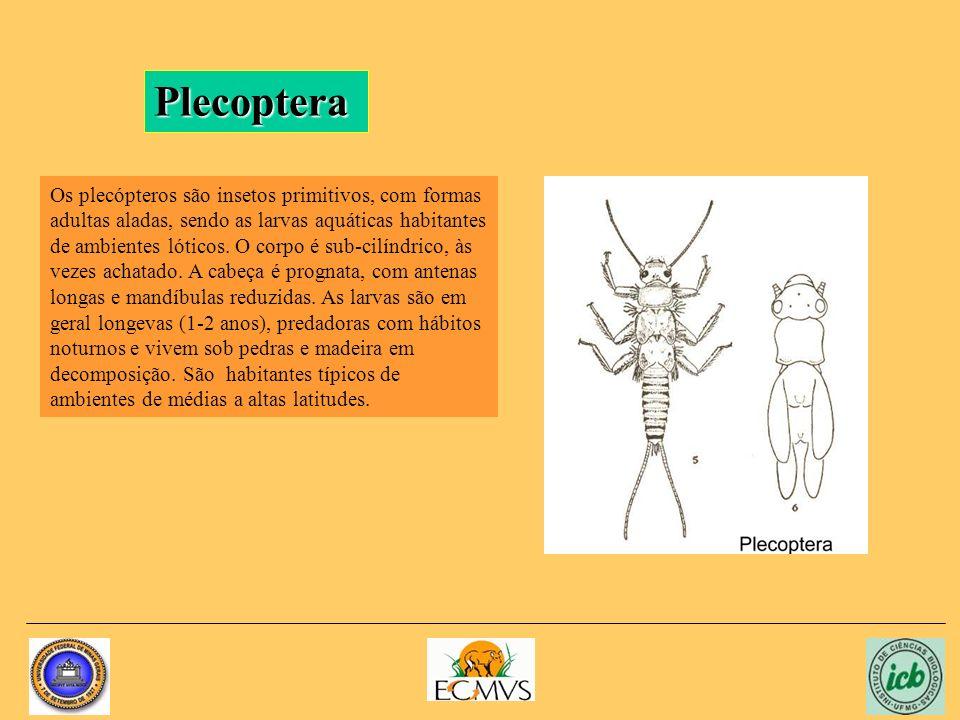 Plecoptera Os plecópteros são insetos primitivos, com formas adultas aladas, sendo as larvas aquáticas habitantes de ambientes lóticos. O corpo é sub-