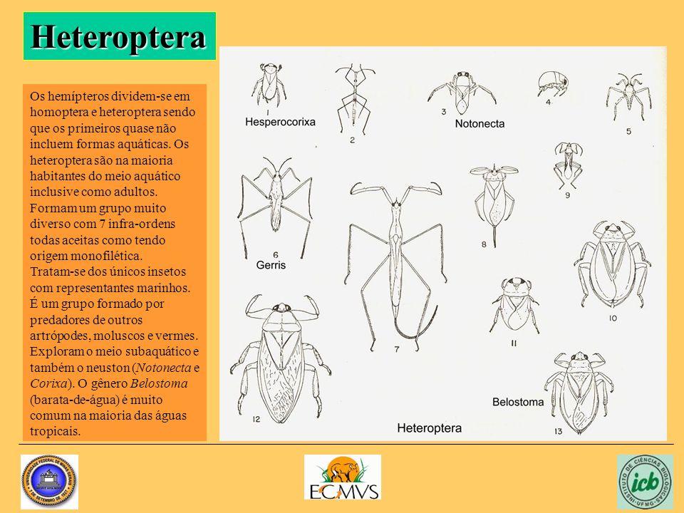 Heteroptera Os hemípteros dividem-se em homoptera e heteroptera sendo que os primeiros quase não incluem formas aquáticas. Os heteroptera são na maior