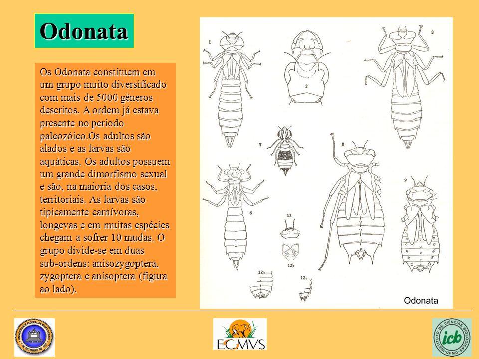 Odonata Os Odonata constituem em um grupo muito diversificado com mais de 5000 gêneros descritos. A ordem já estava presente no período paleozóico.Os