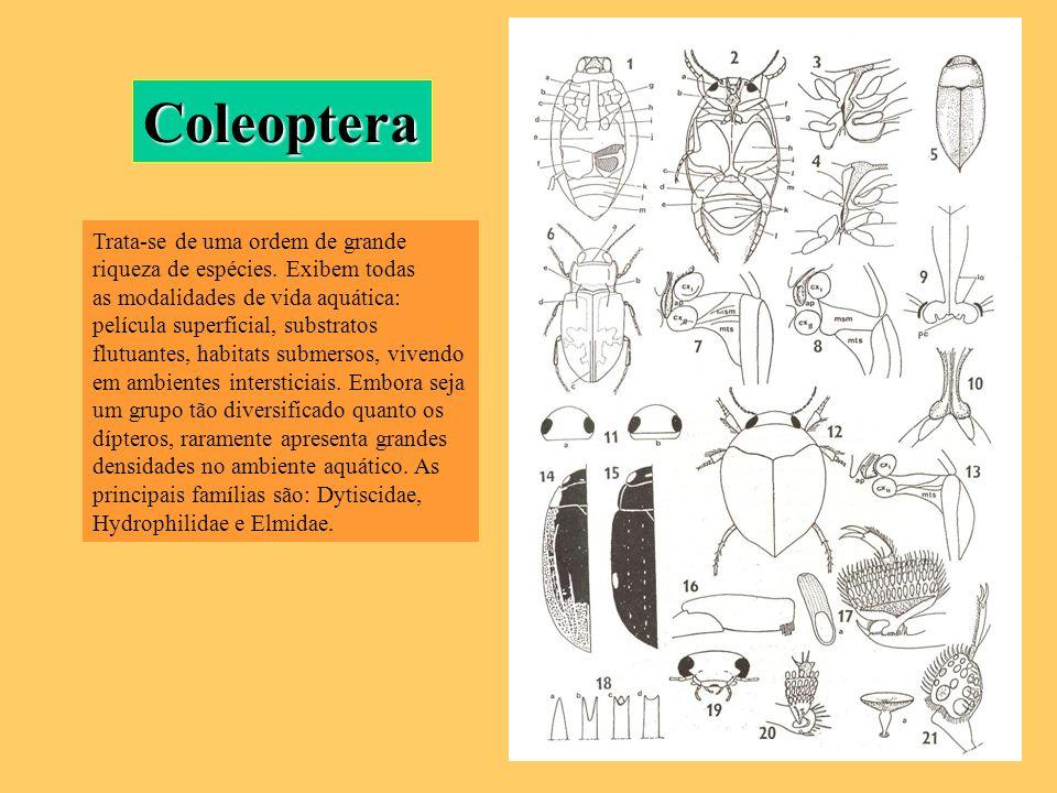 Coleoptera Trata-se de uma ordem de grande riqueza de espécies. Exibem todas as modalidades de vida aquática: película superficial, substratos flutuan