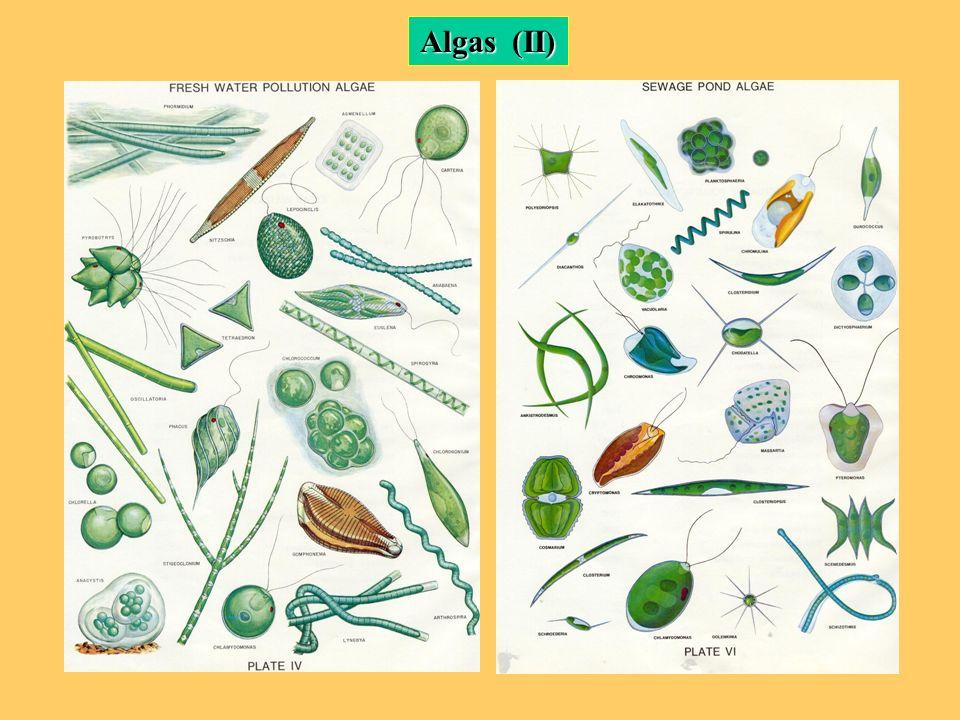Algas (II)