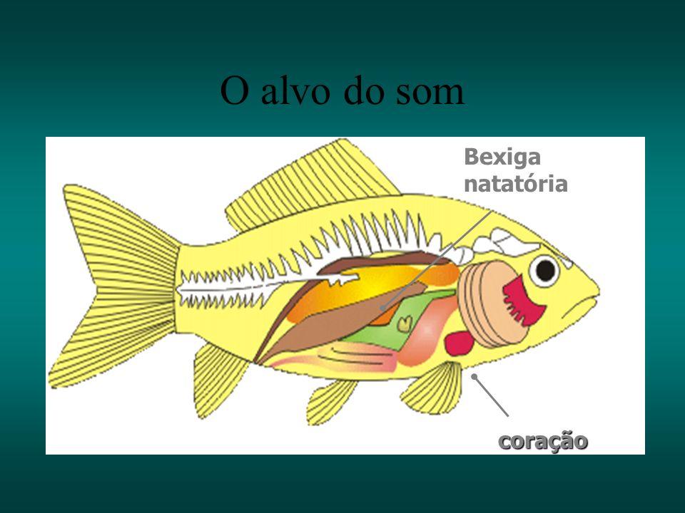 22 Salmão (Oncorhynchus nerka) Radiografia lateral: Radiografia dorsal Theragra chalcogramma O alvo do som