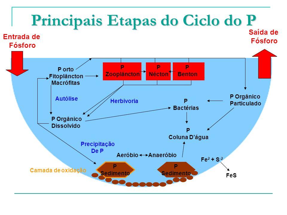 Principais Etapas do Ciclo do P Entrada de Fósforo P Sedimento P Sedimento P Zooplâncton P Nécton P Benton P orto Fitoplâncton Macrófitas P Orgânico P
