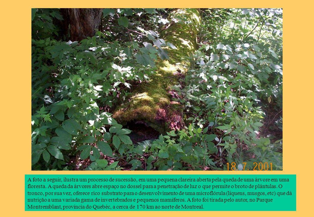 A foto a seguir, ilustra um processo de sucessão, em uma pequena clareira aberta pela queda de uma árvore em uma floresta. A queda da árvores abre esp