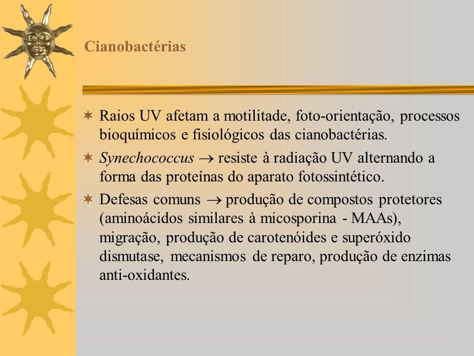Cianobactérias Raios UV afetam a motilitade, foto-orientação, processos bioquímicos e fisiológicos das cianobactérias. Synechococcus resiste à radiaçã