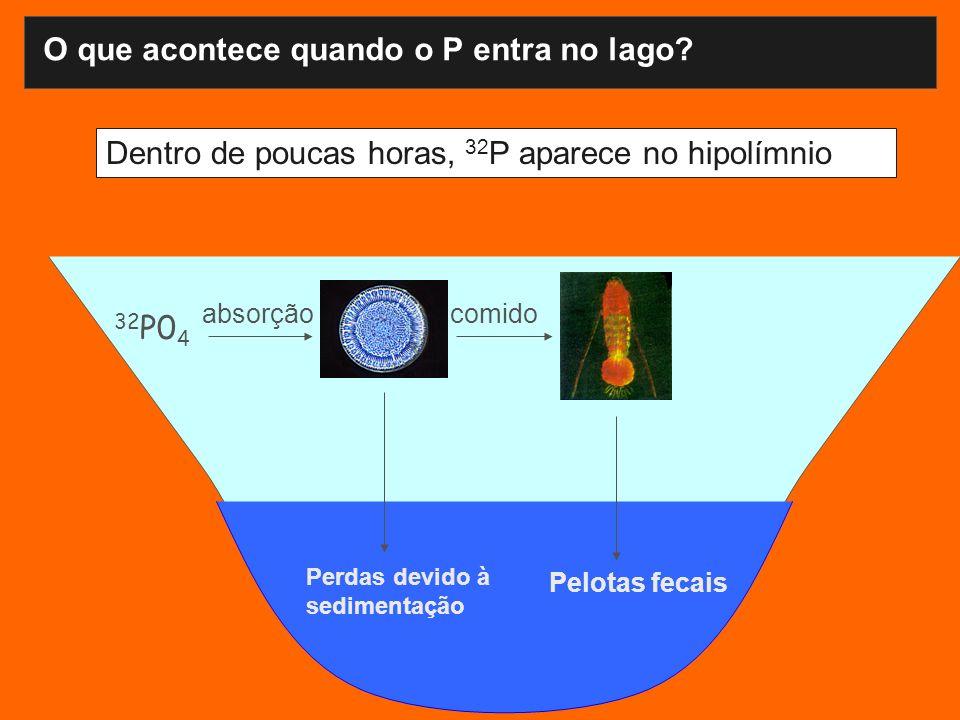 Dentro de poucas horas, 32 P aparece no hipolímnio 32 P0 4 absorçãocomido Pelotas fecais Perdas devido à sedimentação O que acontece quando o P entra no lago?