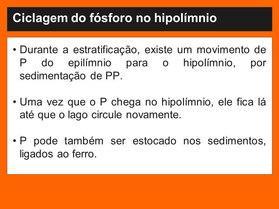 Ciclagem do fósforo no hipolímnio Durante a estratificação, existe um movimento de P do epilímnio para o hipolímnio, por sedimentação de PP.