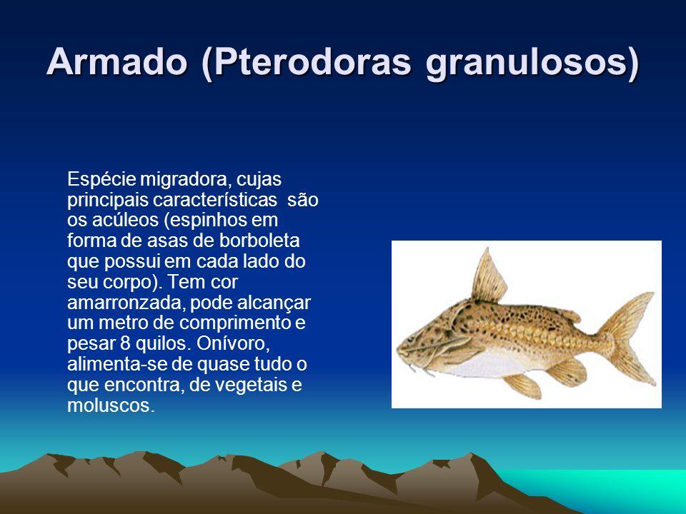 Armado (Pterodoras granulosos) Espécie migradora, cujas principais características são os acúleos (espinhos em forma de asas de borboleta que possui e