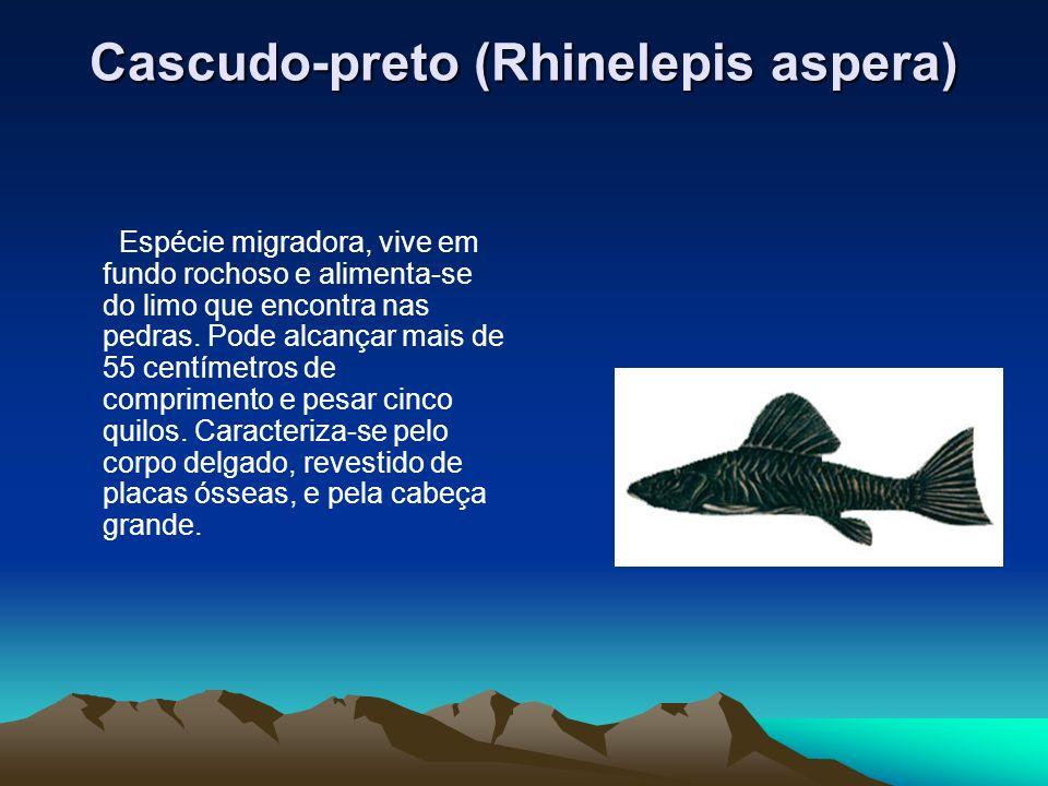 Cascudo-preto (Rhinelepis aspera) Espécie migradora, vive em fundo rochoso e alimenta-se do limo que encontra nas pedras. Pode alcançar mais de 55 cen